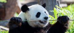Giant Panda Gives Rare Cub in South Korea